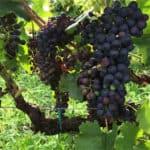grapes-3