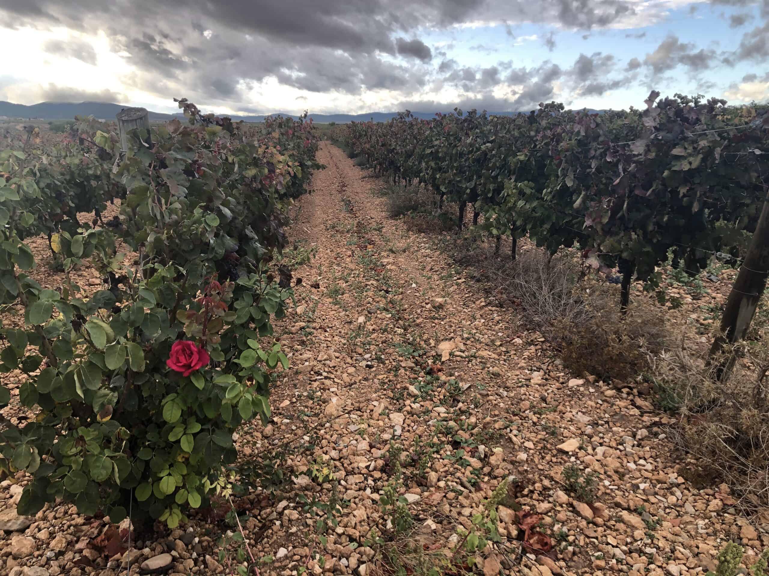 Ekologiskt vin – vinodlingen och dess bakgrund