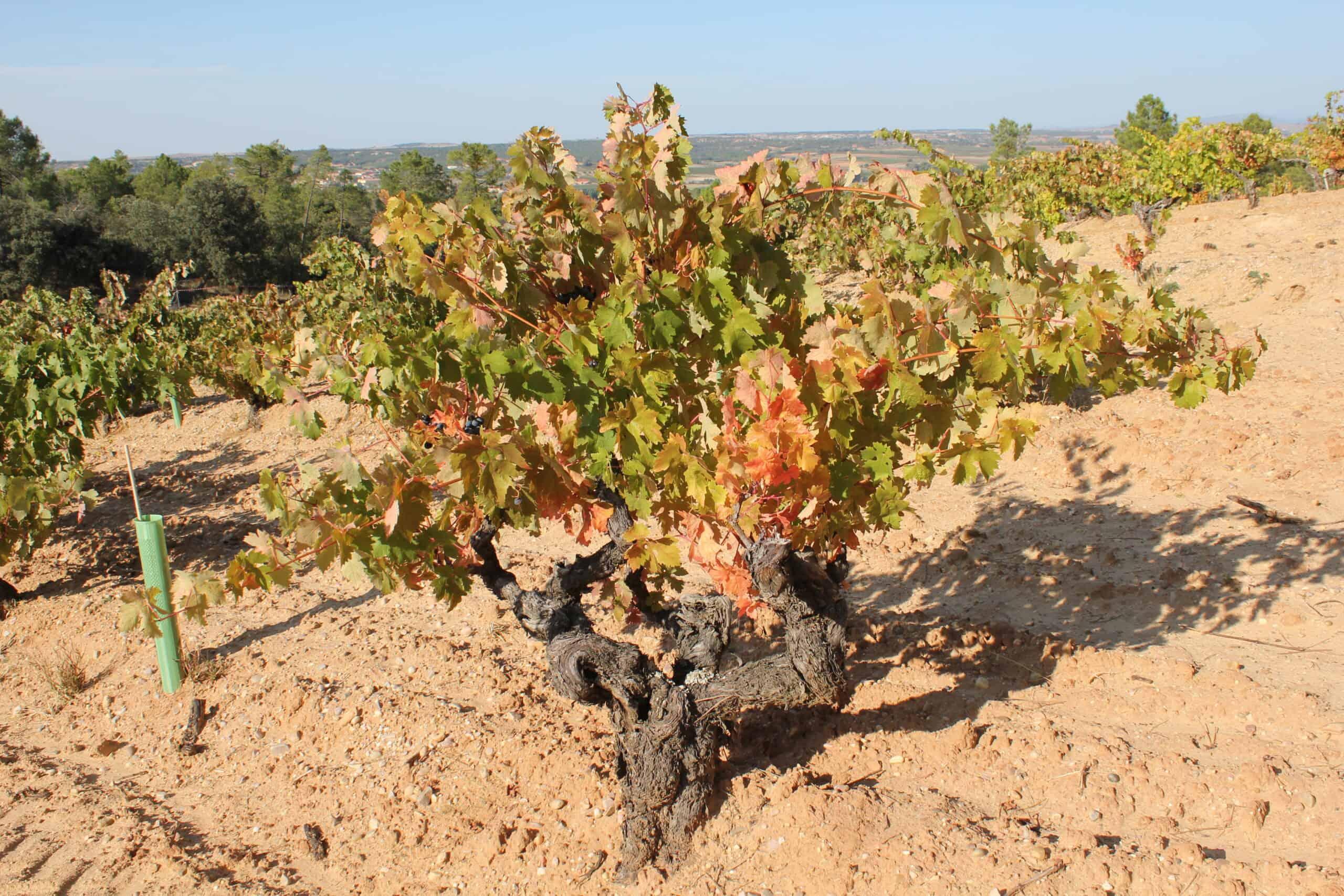 Gamla vinrankor – åldern har betydelse